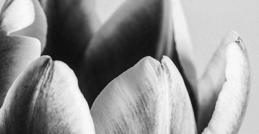 2014, Tulipes | Macro in monochrome