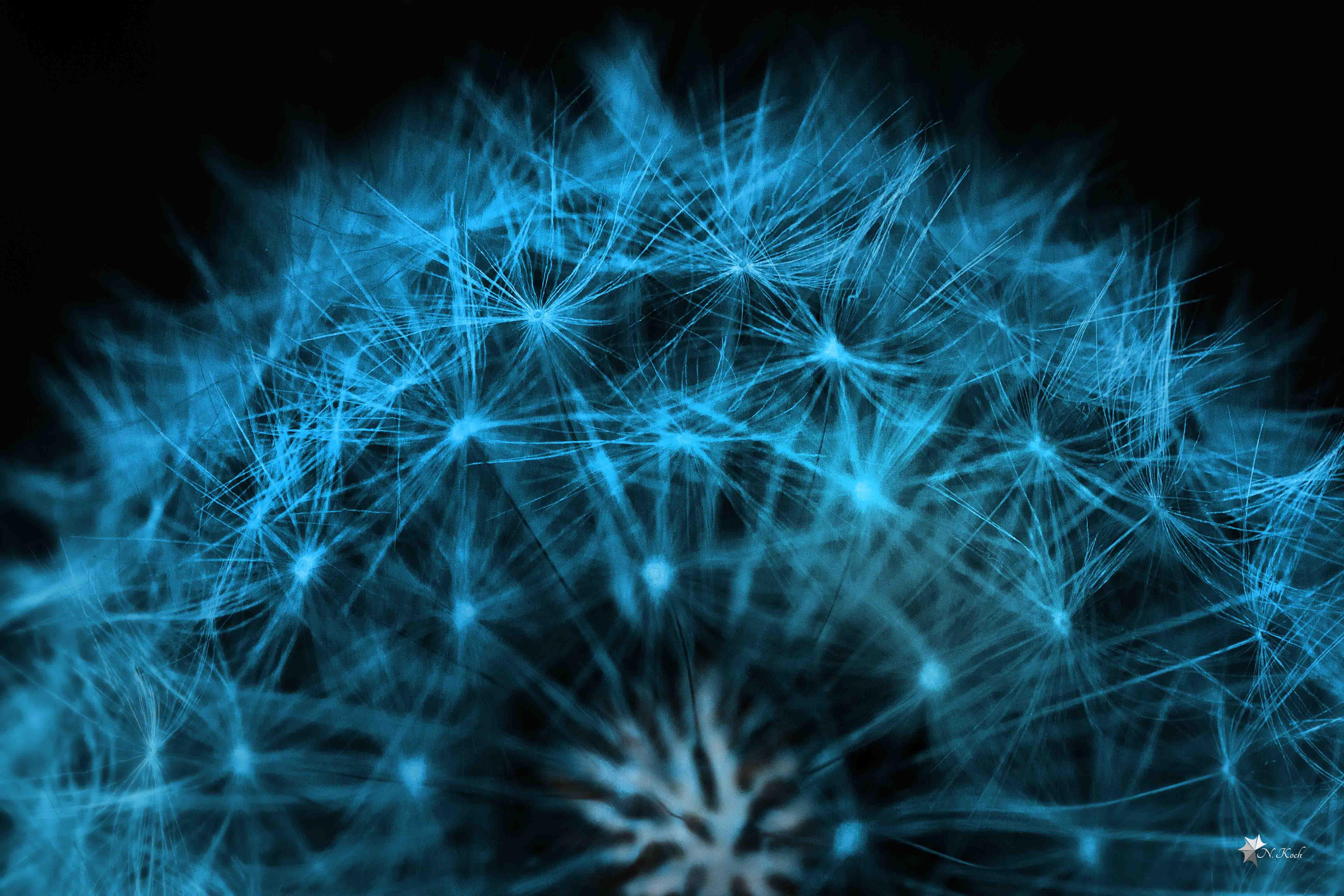 2014, Blue dandelion | Macro colorized
